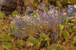 Cactus and purple desert wildflower