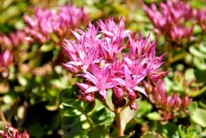 south austin sedum spurium plant