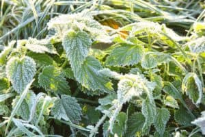 frosted-plants-winter