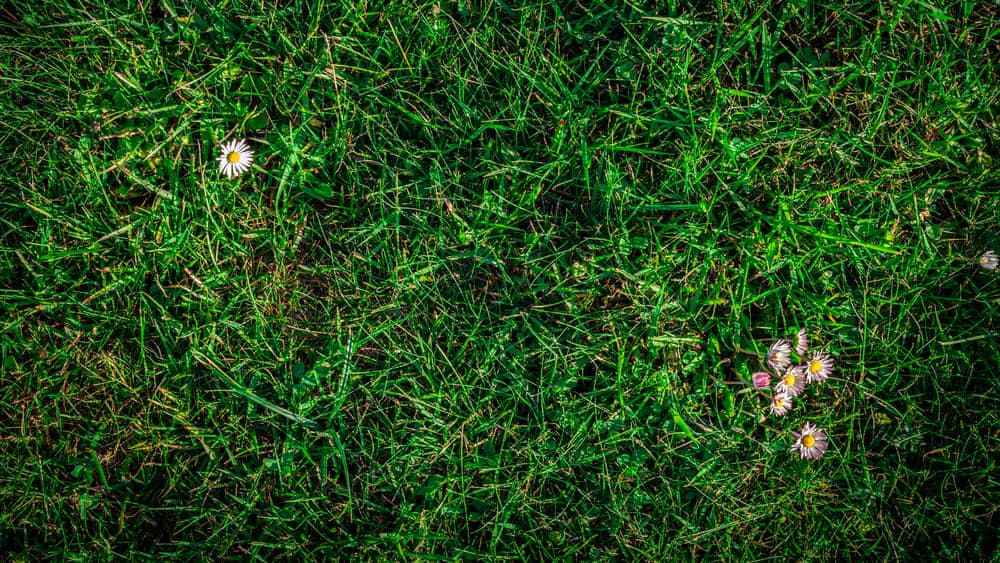 Grass - Common Lawn Weeds and Their Treatment